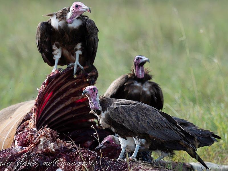 стервятники птицы не самые красивые заповедник масаи мара
