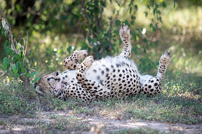 у гепарда сытое пузичко с таким не только бегать  и стоять тяжело