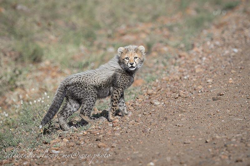 на шерстке повзрослевшего детеныша гепарда проявляются темные пятна