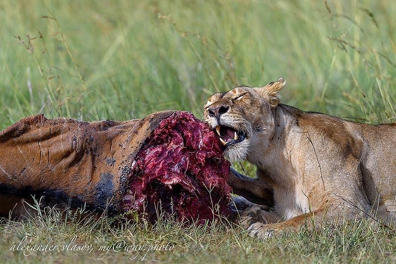удачная охотничья попытка масаи мара