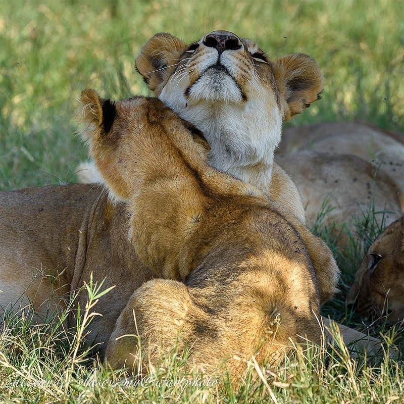 умилительная картина с маленьким львенком