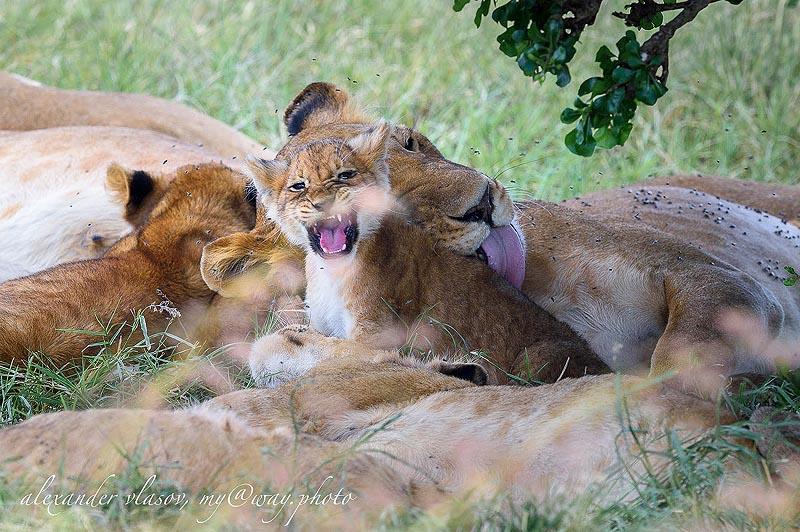 хоть и маленький но уже лев