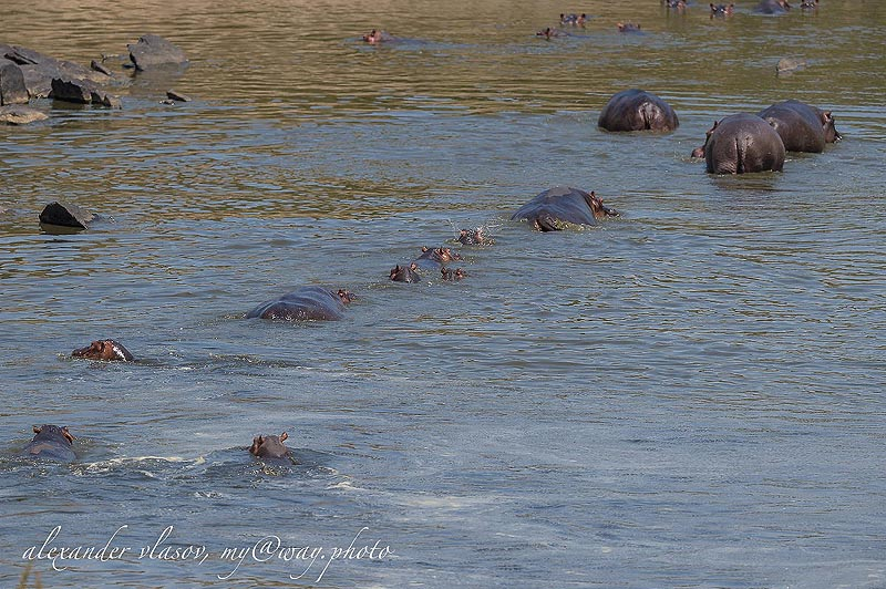 бегемоты в воде кажутся огромными валунами