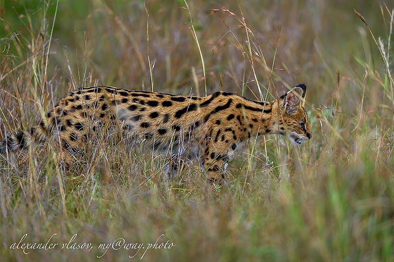 сервала трудно разглядеть в высокой траве масаи мара