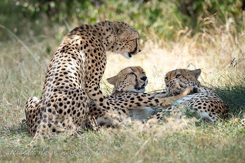 веселая компания гепардов в масаи мара