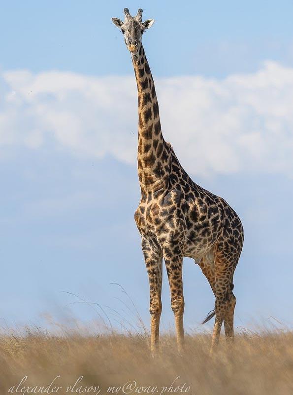 виден масайский жираф