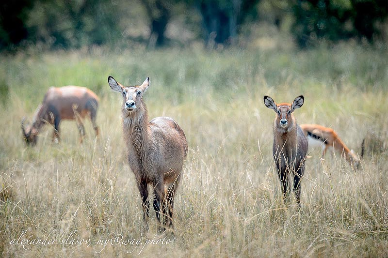 уотербак водяной козел с потомством заповедник масаи мара