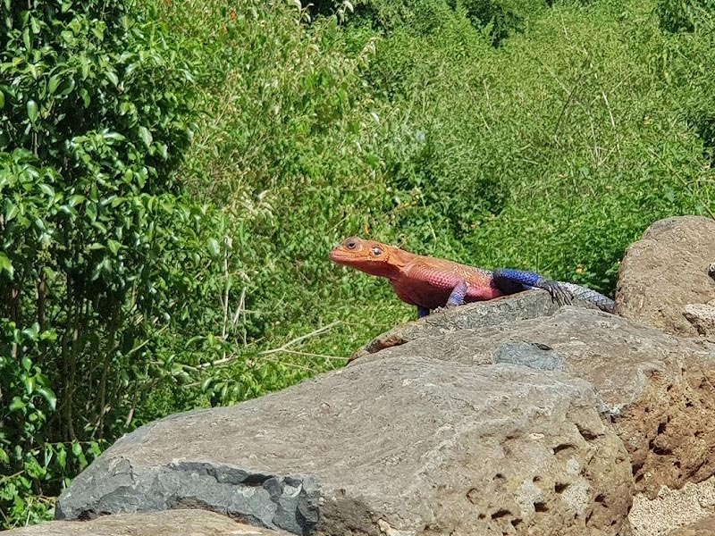 яркая ящерица агама надумала погреться на солнце серена лодж