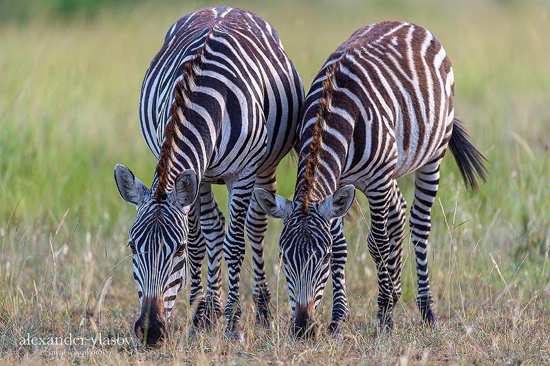 зебры гранта на территории заповедника масаи мара