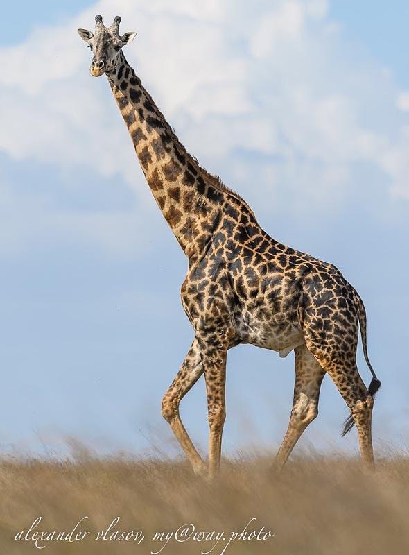 жираф смотрел кроткими глазами с высоты своих пяти метров