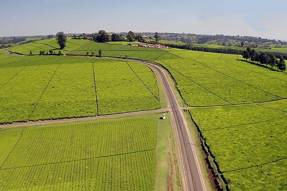 огромные чайные плантации кении