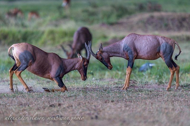 животные саванны кения