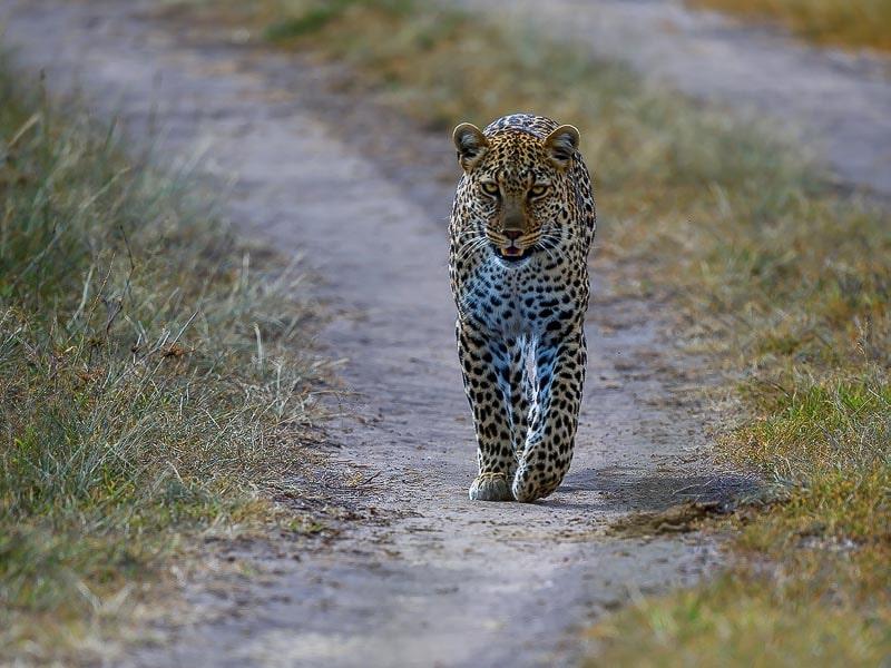 леопард одно из потенциально опасных животных