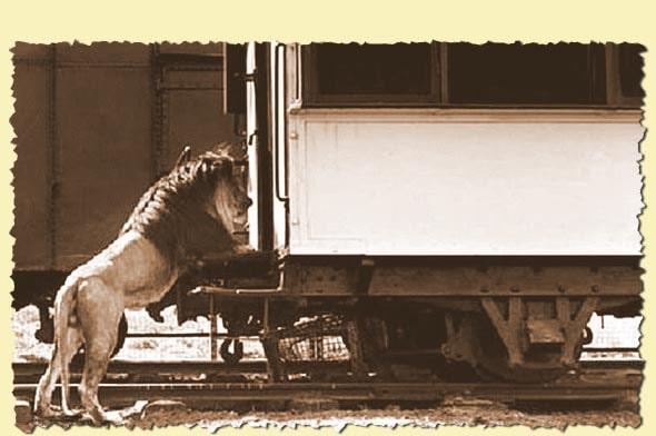 лев у вагона в котором задремал бедняга чарльз рилль