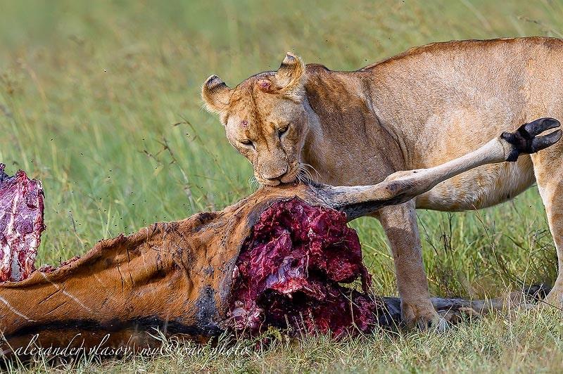 львица и ее дичь