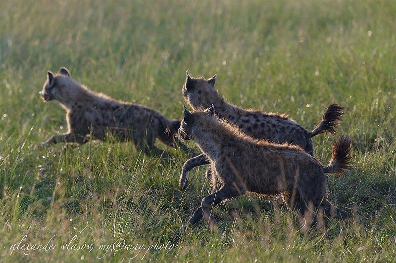 пятнистые гиены кения