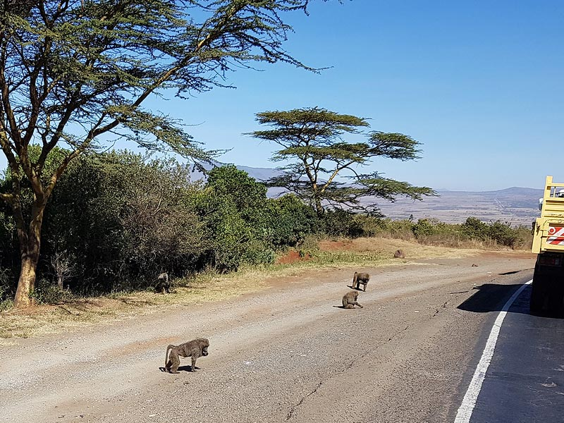 стайка деловитых бабуинов на кенийском шоссе