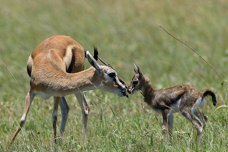 газели в африканской саванне