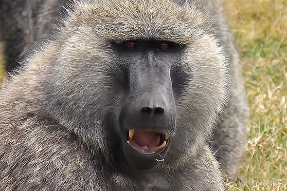 зубы у бабуинов как у хорошей собаки